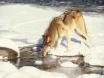 Un lobo bebiendo agua de un río helado