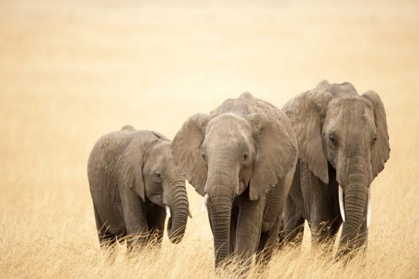 Tres elefantes caminando