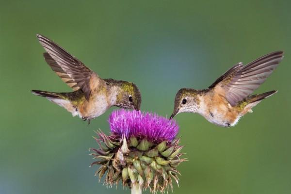 Dos colibrís libando de la misma flor