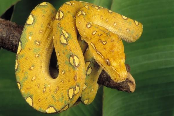 Serpiente amarilla sobre una rama