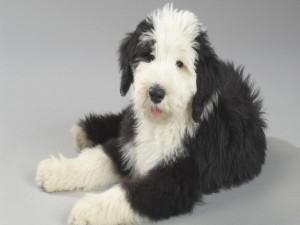 Postal: Un bonito perro con abundante pelo