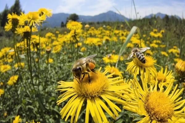 Abejas recolectando polen de las flores amarillas