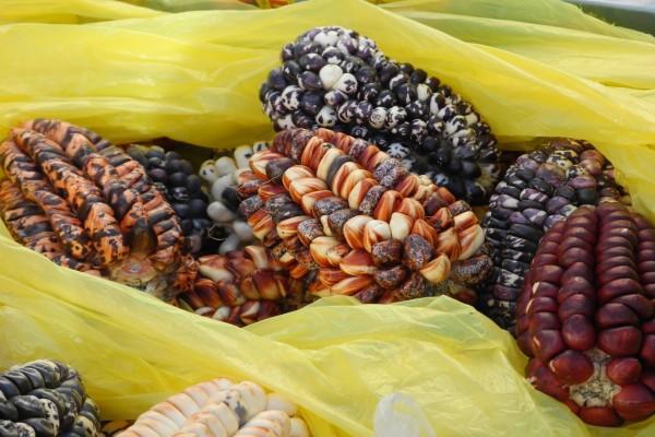 Mazorcas de maíz de varios tipos