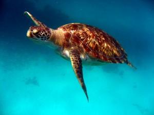 Una bonita tortuga nadando en el mar