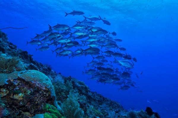 Banco de peces plateados en el mar