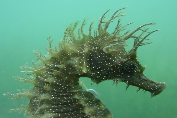 La cabeza de un caballito de mar