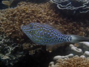 Un pez con manchas negras y azules