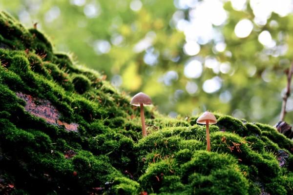 Dos pequeñas setas creciendo en el verdor del bosque