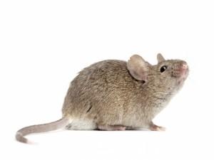 Postal: Un ratón