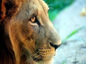Postal: Perfil de un león
