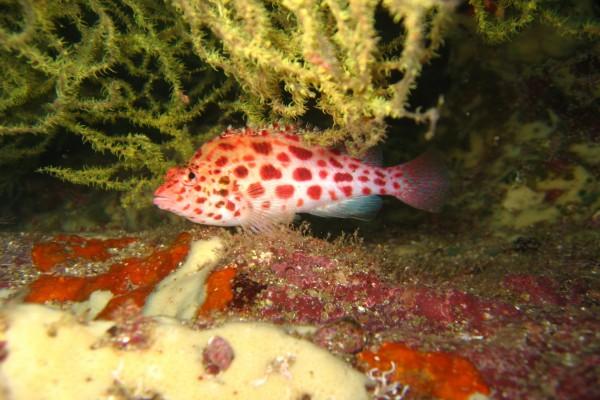 Un pez con manchas rojas