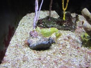 Un caballito de mar amarillo en un acuario