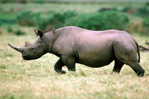 Pájaros sobre un rinoceronte