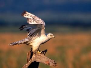 Postal: Halcón gerifalte (Falco rusticolus)