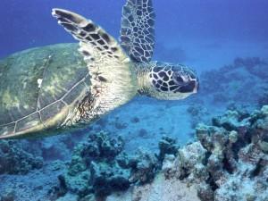 Postal: Una tortuga verde marina (Chelonia mydas)