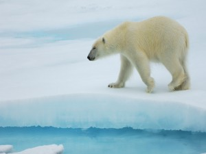 Un bonito oso polar caminando sobre el hielo