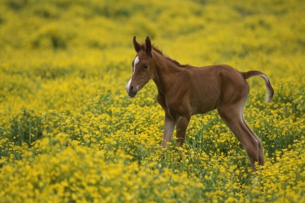 Potrillo sobre las flores amarillas