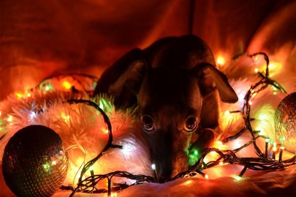 Un perro entre bolas y luces de Navidad