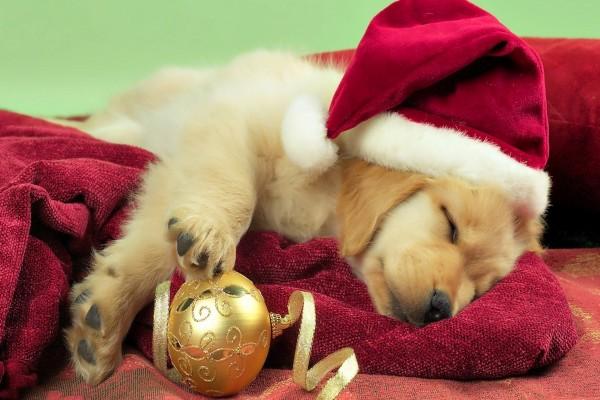 Perro dormido con el gorro de Santa
