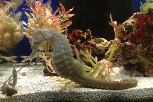 Un gran caballito de mar en un acuario