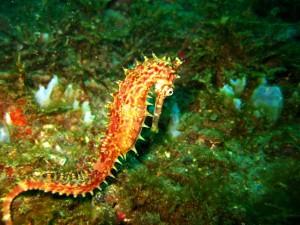 Postal: Caballito de mar nadando en el fondo marino