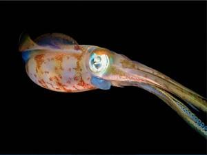 Postal: El gran ojo de un calamar