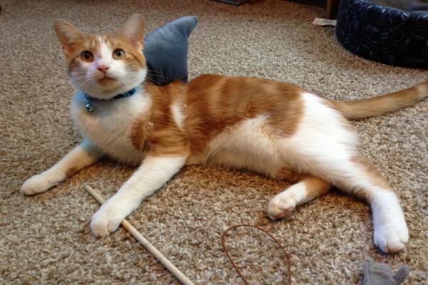 Un gato con una aleta de tiburón