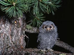 Un polluelo de búho sobre la rama de un pino