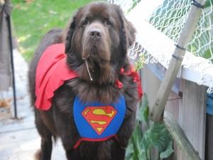 Perro con un disfraz de Superman