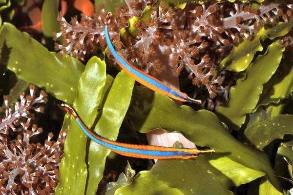 Peces pipa de un bonito color