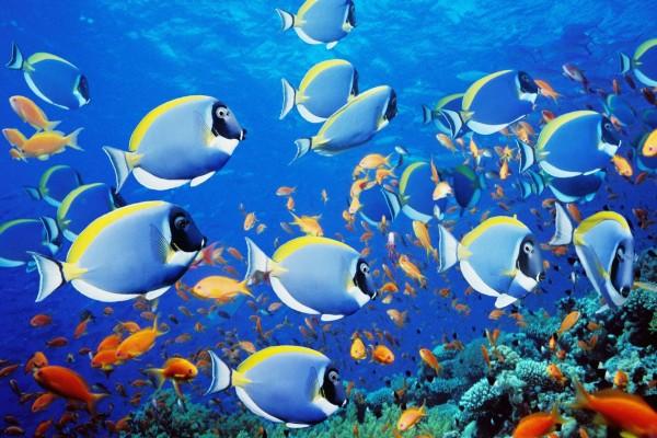 Gran cantidad de peces tropicales junto al arrecife de coral