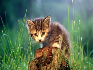 Gatito sobre el tronco de un árbol talado