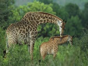 Una jirafa cuidando de su cría