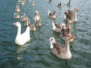 Gansos y patos en el agua