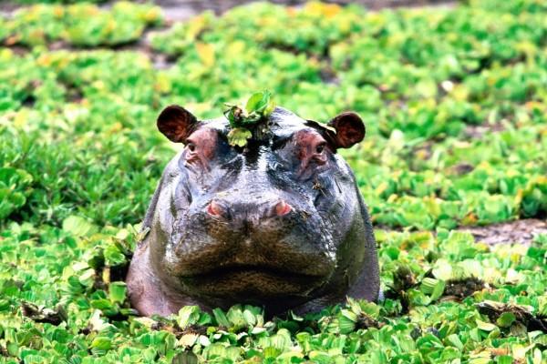 La cabeza de un hipopótamo entre las plantas