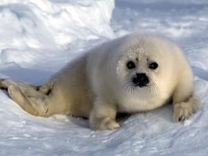 Una foca bebé solitaria