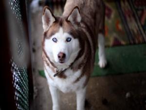 Postal: Alaskan con bonitos ojos azules