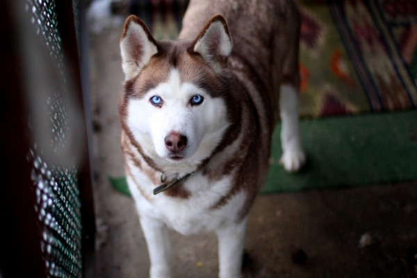 Alaskan con bonitos ojos azules