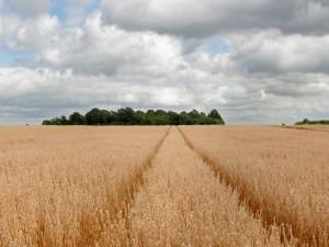 Un gran campo de avena