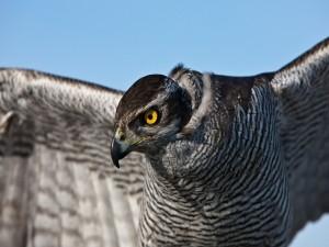 El ojo de un halcón