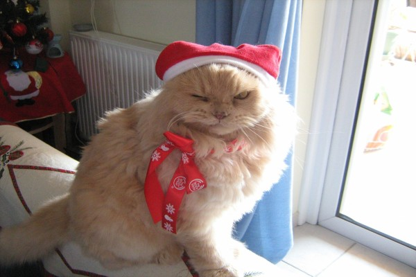 Un gracioso gato navideño