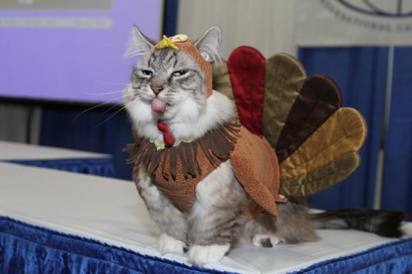 Gato disfrazado de pavo