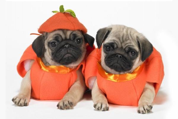Perros disfrazados de calabazas para Halloween