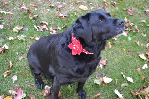 Perro con una flor de Navidad