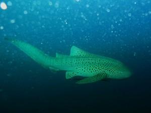 Postal: Un tiburón leopardo