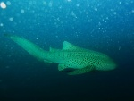 Un tiburón leopardo