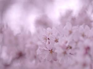 Flores blancas de un cerezo