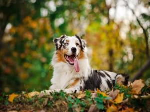 Postal: Perro descansando sobre las hojas del bosque