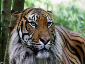 Postal: La mirada de un gran tigre