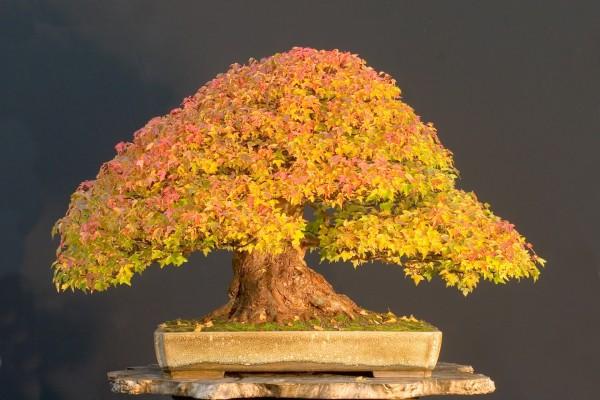 Bonsai con hojas otoñales